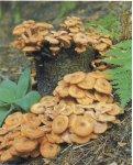 Грибы как фактор риска. Отравление грибами.