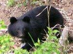 Голодные медведи атакуют деревни