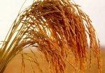 Из-за Олимпиады китайским фермерам запретили выращивать рис