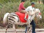 Китайские ботаники зарабатывают на поддельной зебре