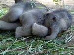 Из слонят хотят сделать транспортное средство