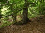 Где растут грибы. Буковый лес.