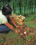 Грибы. Как правильно собирать грибы