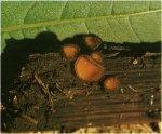 Гриб Скутеллиния щитовидная. Классификация гриба. (фото)