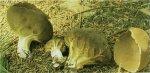 Гриб Паксина ацетабулум. Классификация гриба. (фото)