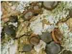 Гриб Булгария инквинанс. Классификация гриба. (фото)