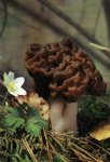 Гриб Строчок обыкновенный, строчок весенний. Классификация гриба. (фото)