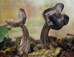 Гриб Лопастник ямчатый. Классификация гриба. (фото)