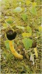 Гриб Верпа коническая. Классификация гриба. (фото)