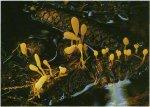 Гриб Митруля болотная. Классификация гриба. (фото)