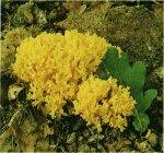 Гриб Рамария золотистая. Классификация гриба. (фото)