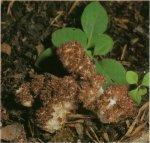 Гриб Рогатик гроздевидный. Классификация гриба. (фото)