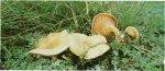 Гриб Лисичка ложная. Классификация гриба. (фото)