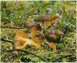 Гриб Лисичка желтеющая. Классификация гриба. (фото)