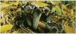 Гриб Ворончик рожковидный. Классификация гриба. (фото)