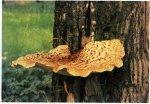 Гриб Трутовик чешуйчатый, вязовик. Классификация гриба. (фото)
