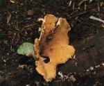 Гриб Трутовик пестрый. Классификация гриба. (фото)