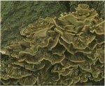 Гриб-баран. Классификация гриба. (фото)