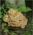 Гриб Мерипилус гигантски. Классификация гриба. (фото)