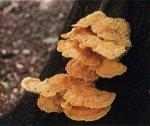 Гриб Трутовик серно-желты. Классификация гриба. (фото)
