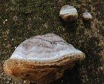 Гриб Трутовик настоящий. Классификация гриба. (фото)
