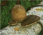 Гриб Трутовик березовый. Классификация гриба. (фото)