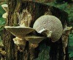 Гриб Дубовая губка. Классификация гриба. (фото)