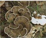 Гриб Дедалеопсис пестрый. Классификация гриба. (фото)