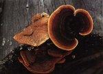 Заборный гриб. Классификация гриба. (фото)
