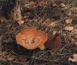 Гриб Сухлянка двухлетняя. Классификация гриба. (фото)