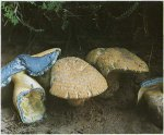 Гриб Синяк. Классификация гриба. (фото)