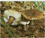 Каштановый гриб. Классификация гриба. (фото)
