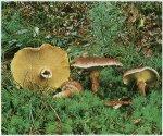 Гриб Болетинус полоножковыи, моховик полоножковый. Классификация гриба. (фото)