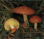 Гриб Масленок зернистый. Классификация гриба. (фото)