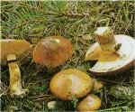 Гриб Масленок обыкновенный. Классификация гриба. (фото)
