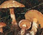 Гриб Масленок рыже-красный. Классификация гриба. (фото)