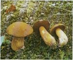 Гриб Моховик желто-бурый. Классификация гриба. (фото)