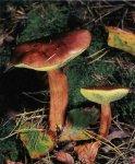 Польский гриб. Классификация гриба. (фото)