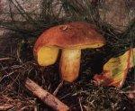 Гриб Моховик зеленый. Классификация гриба. (фото)