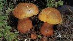 Гриб Дубовик обыкновенный, дубовик оливково-бурый. Классификация гриба. (фото)