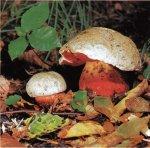 Сатанинский гриб. Классификация гриба. (фото)