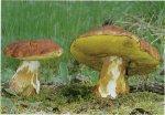 Белый гриб сосновый. Классификация гриба. (фото)