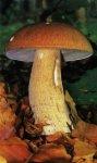 Белый гриб, форма сетчатая. Классификация гриба. (фото)