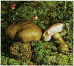 Желчный гриб, горчак. Классификация гриба. (фото)