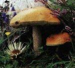 Гриб Подберезовик обыкновенный. Классификация гриба. (фото)