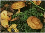 Гриб Свинушка тонкая. Классификация гриба. (фото)