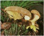 Гриб Свинушка толстая. Классификация гриба. (фото)