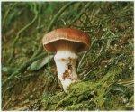 Гриб Мокруха розовая. Классификация гриба. (фото)