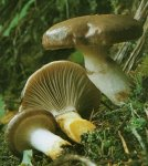 Гриб Мокруха еловая. Классификация гриба. (фото)