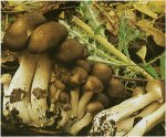 Гриб Рядовка скученная. Классификация гриба. (фото)